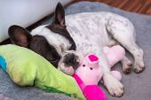French bulldog puppy sleeping on the pillow — Stock Photo