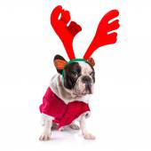 French bulldog dressed as reindeer Rudolph — Zdjęcie stockowe