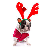 French bulldog dressed as reindeer Rudolph — Stock Photo