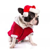 French bulldog in santa costume for Christmas — Foto Stock