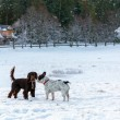 Two dogs playing on the snow — Stock Photo #60326713