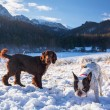 Two dogs playing on the snow — Stock Photo #60326985