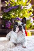 French bulldog under christmas tree — Stock Photo