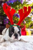 French bulldog with reindeer horns — Stock Photo