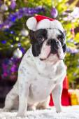 French bulldog in santa hat — Stock Photo