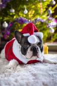 French bulldog in santa costume — Stock Photo