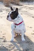Francouzský buldoček na pláži — Stock fotografie