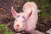 Pig on irish farm — Stock Photo