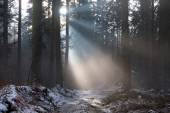 Sunbeams in misty forest — Stock Photo
