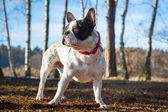 French bulldog on the walk — Stock Photo