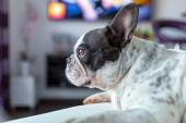 Dog lying at the TV — Foto Stock