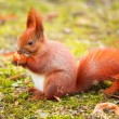 Red squirrel eating hazelnut — Stock Photo #66694061