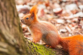 Red squirrel in the park — Stock Photo
