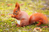 Red squirrel eating hazelnut — Stock Photo