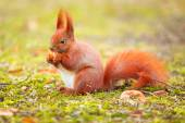 Red squirrel eating hazelnut — Stock fotografie