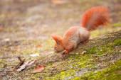 红松鼠在公园里 — 图库照片