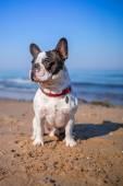 Buldog francuski na plaży — Zdjęcie stockowe