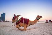 Camel ride on the beach at Dubai — Stock Photo