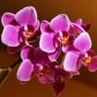 Orchids — Stock Photo #56131455