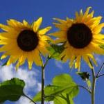 Sunflowers — Stock Photo #56131479