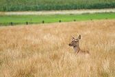 Female doe red deer hiding in the long grass — Stock Photo