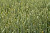 Green wheat ears on the field in ripening period — Foto Stock