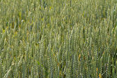 Green wheat ears on the field in ripening period — Photo