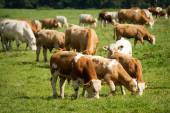 Cows and bulls in pasture — Stock Photo