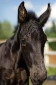 Portrait of nice foal - friesian horse  — Stock fotografie