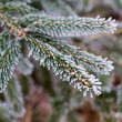 Winter frost on spruce tree — Stock Photo #60079691