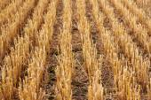 Rows of stubble harvested wheat field — Stock Photo