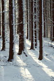Snowy trees in the winter forest — Stock Photo