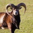 Mouflon — Stock Photo #63004877