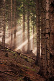 Coniferous forest early in the morning — Stock Photo
