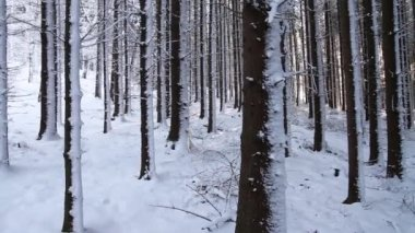 Snowy trees in forest — Stock Video