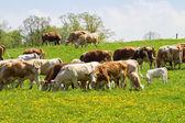 Rebaño de vacas en el campo de primavera verde — Foto de Stock