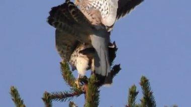 Mating kestrels, falco tinnunculus — Stock Video