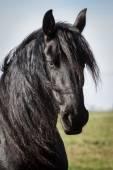 Portrait beauty friesian horse — Stock Photo