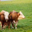 Brown and white dairy cows, calwes and bulls in pasture — Stock Photo #71592063