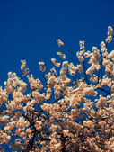 Blossom on blue sky background  — Stockfoto