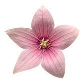 Pink Platycodon grandiflorus flower isolated on white background — Stock Photo