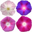 4 petunia flowers collection isolated over white background — Stock Photo #66912597