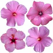 4 pink hollyhock flowers — Stock Photo