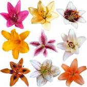 Collection of nine different lily flower heads isolated on white background — 图库照片