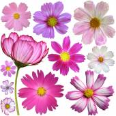 Set of cosmos flowers — Stock Photo