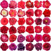 Big collection of beautiful red and purple  roses isolated on th — Stock Photo