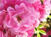 ピンクのバラの庭 — ストック写真