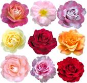 Set of 9 roses blooming — Stock Photo