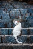 White odd eyed cat — Stock Photo
