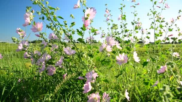 fleurs de prairie rose violet mauve malva — vidéo olenka-2008